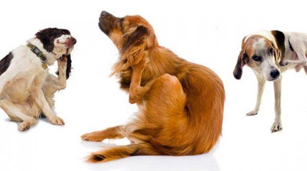 Il tuo cane si gratta troppo? [Tempo: 50 sec]